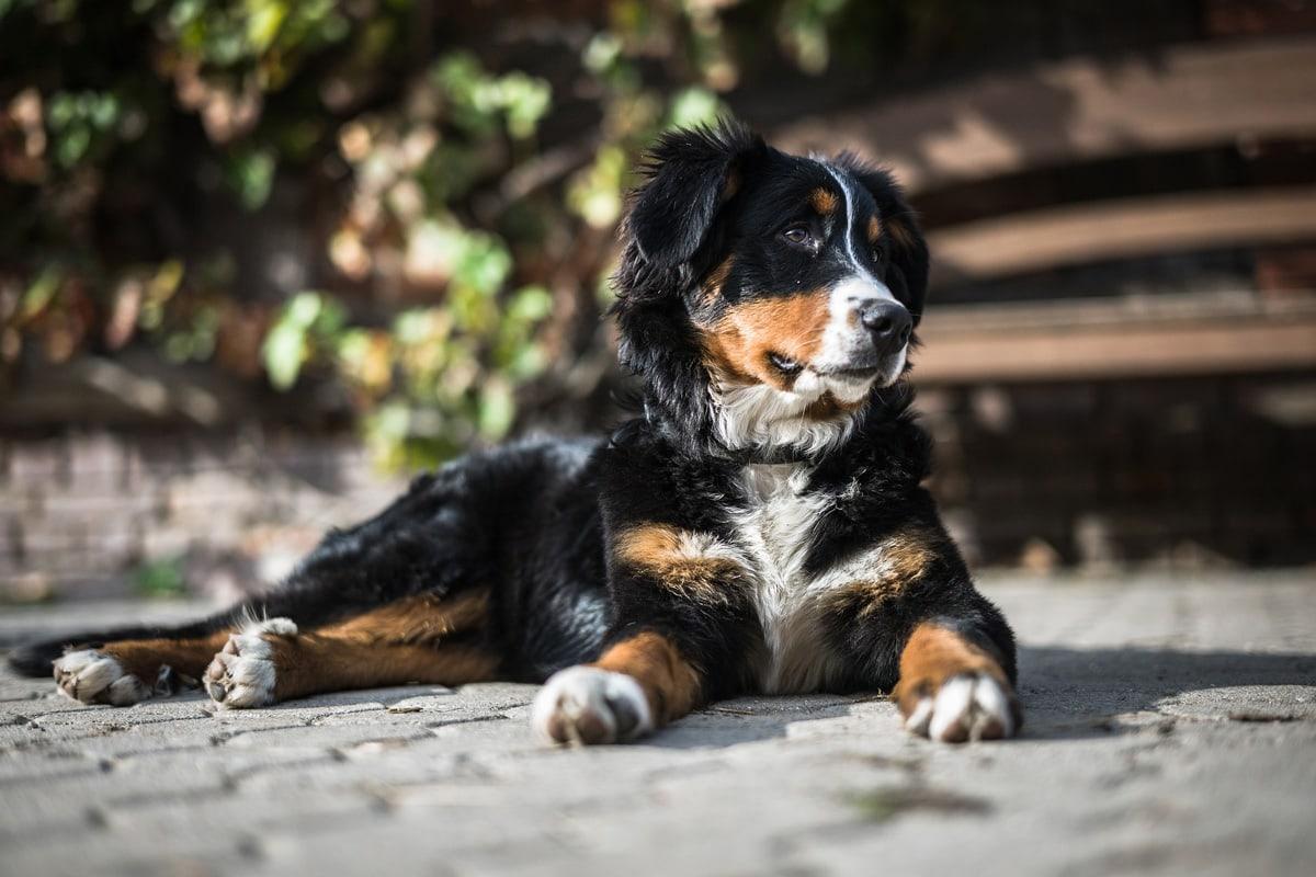 Bernski planšarski pes
