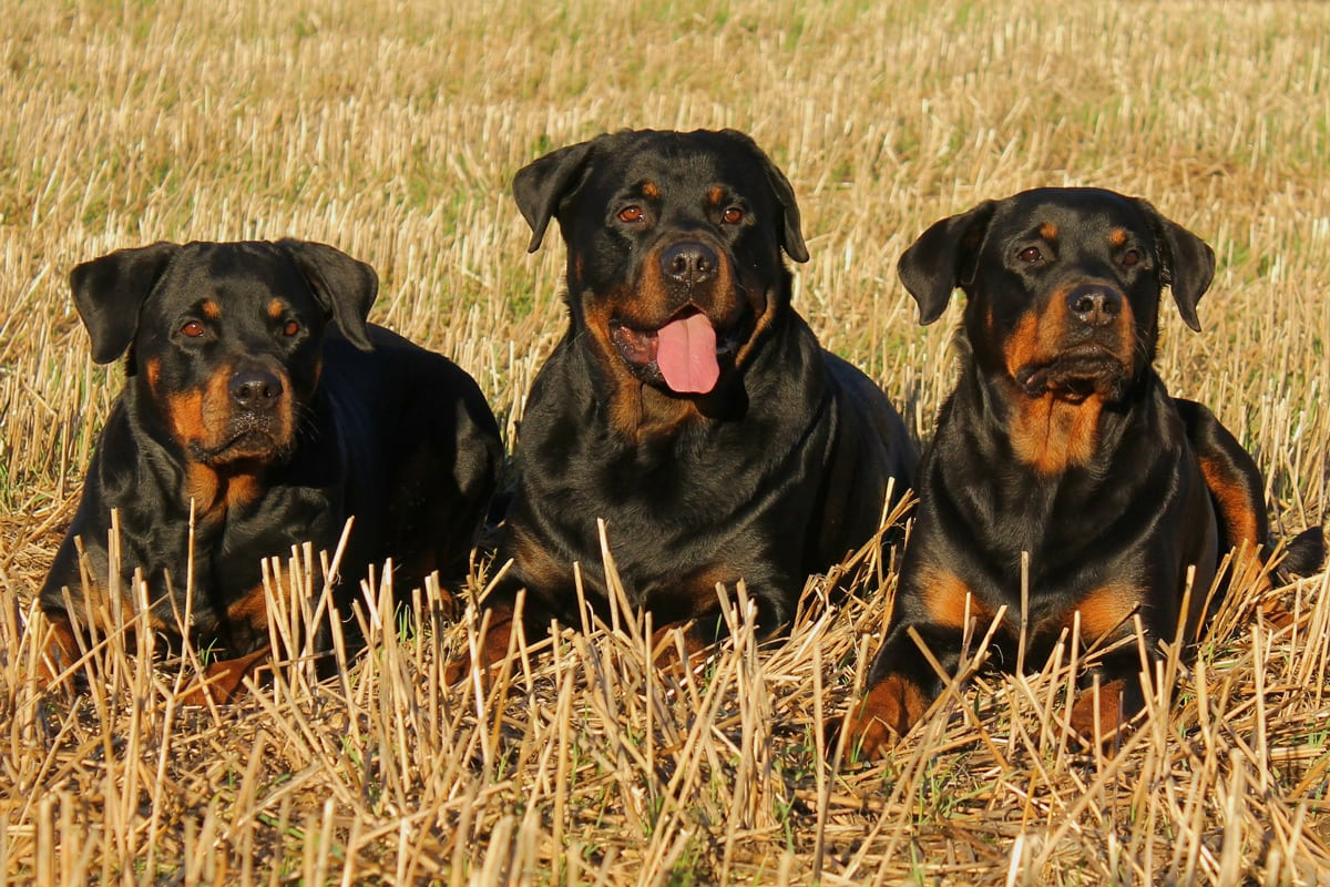 Rotvajler (org.: Rottweiler)
